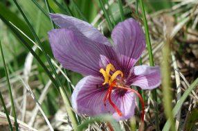 saffron_crocus_flower